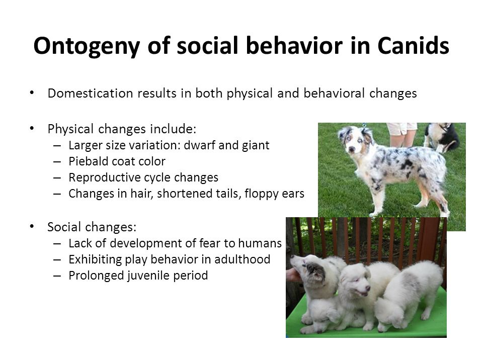 Ontogeny of social behavior in Canids Domestication results in both physical and behavioral changes Physical changes include: – Larger size variation: dwarf and giant – Piebald coat color – Reproductive cycle changes – Changes in hair, shortened tails, floppy ears Social changes: – Lack of development of fear to humans – Exhibiting play behavior in adulthood – Prolonged juvenile period