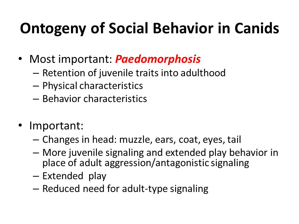 Ontogeny of Social Behavior in Canids Most important: Paedomorphosis – Retention of juvenile traits into adulthood – Physical characteristics – Behavior characteristics Important: – Changes in head: muzzle, ears, coat, eyes, tail – More juvenile signaling and extended play behavior in place of adult aggression/antagonistic signaling – Extended play – Reduced need for adult-type signaling