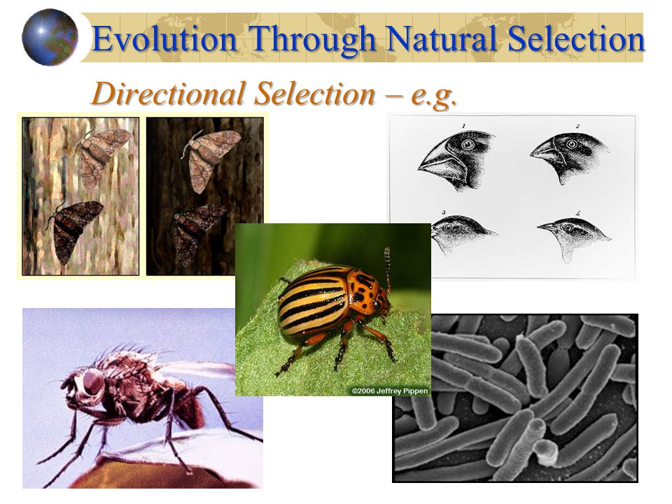 Directional Selection – e.g. Evolution Through Natural Selection
