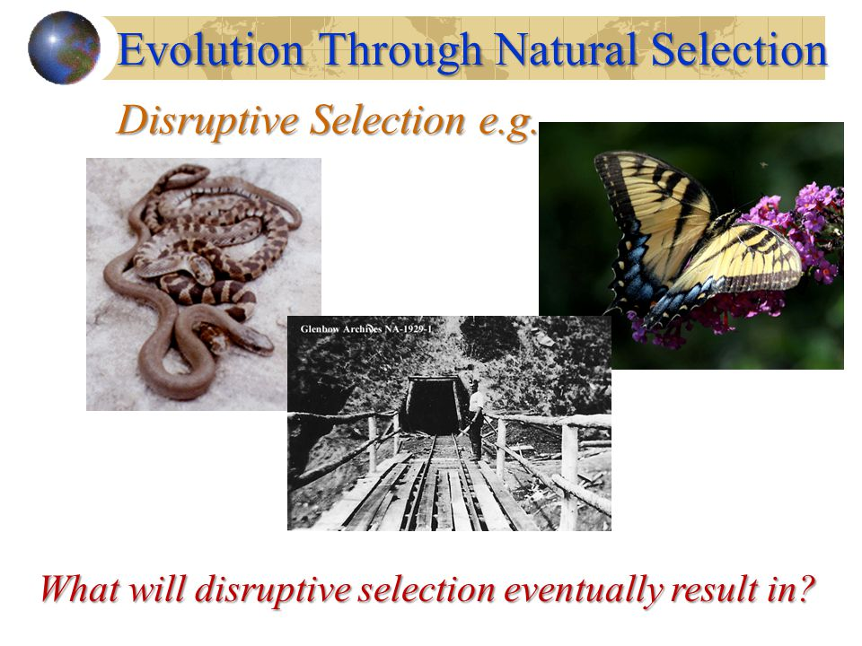 Disruptive Selection e.g. Evolution Through Natural Selection What will disruptive selection eventually result in?