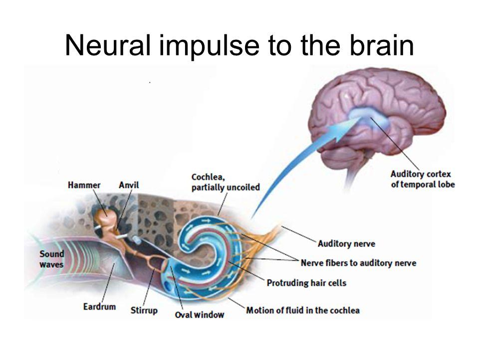 Neural impulse to the brain