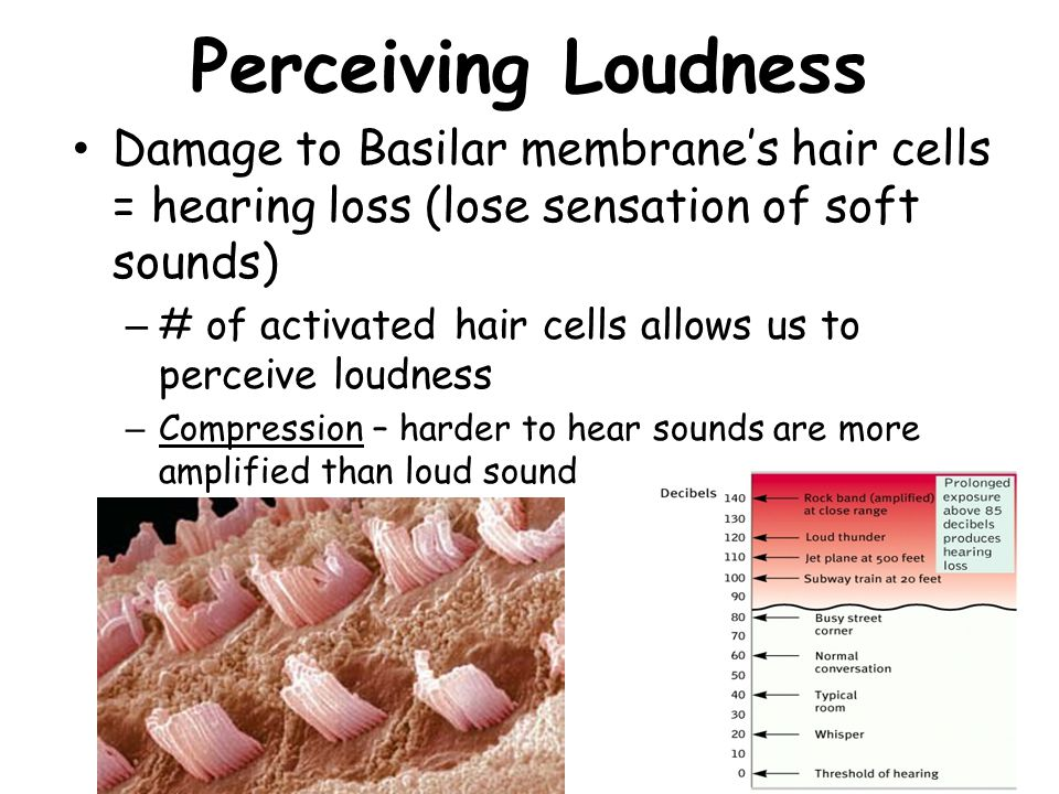 Perceiving Loudness Damage to Basilar membrane's hair cells = hearing loss (lose sensation of soft sounds) – # of activated hair cells allows us to perceive loudness – Compression – harder to hear sounds are more amplified than loud sound