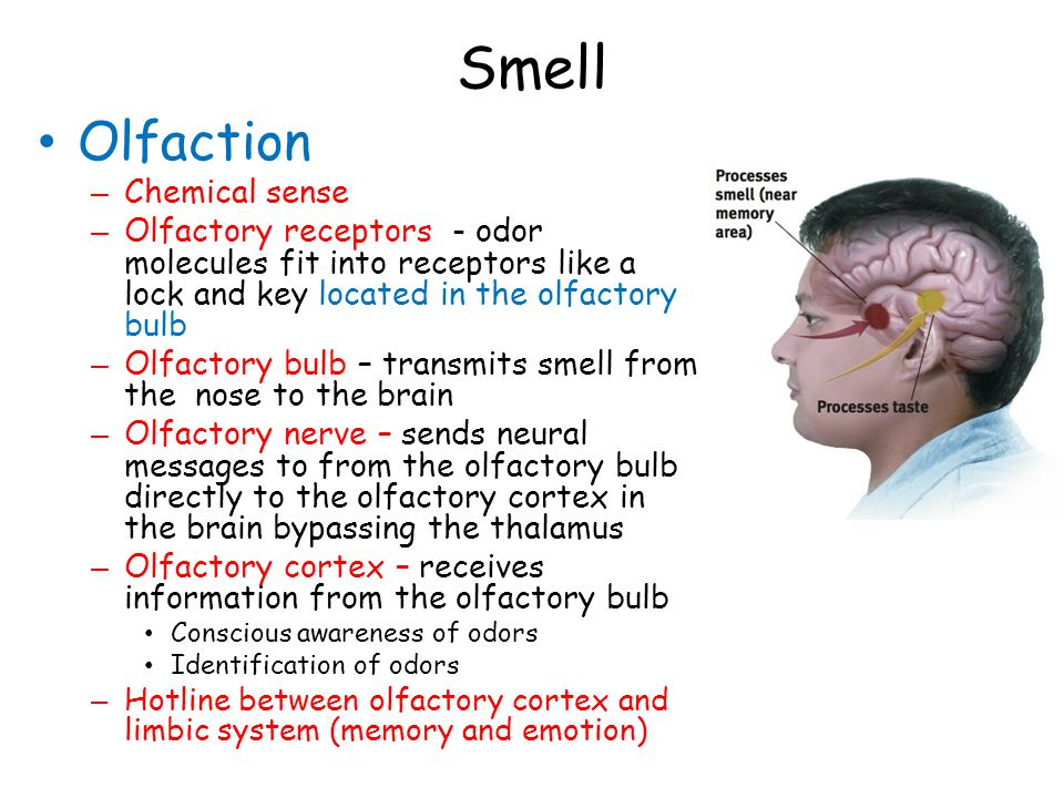 Smell Olfaction – Chemical sense – Olfactory receptors - odor molecules fit into receptors like a lock and key located in the olfactory bulb – Olfactory bulb – transmits smell from the nose to the brain – Olfactory nerve – sends neural messages to from the olfactory bulb directly to the olfactory cortex in the brain bypassing the thalamus – Olfactory cortex – receives information from the olfactory bulb Conscious awareness of odors Identification of odors – Hotline between olfactory cortex and limbic system (memory and emotion)