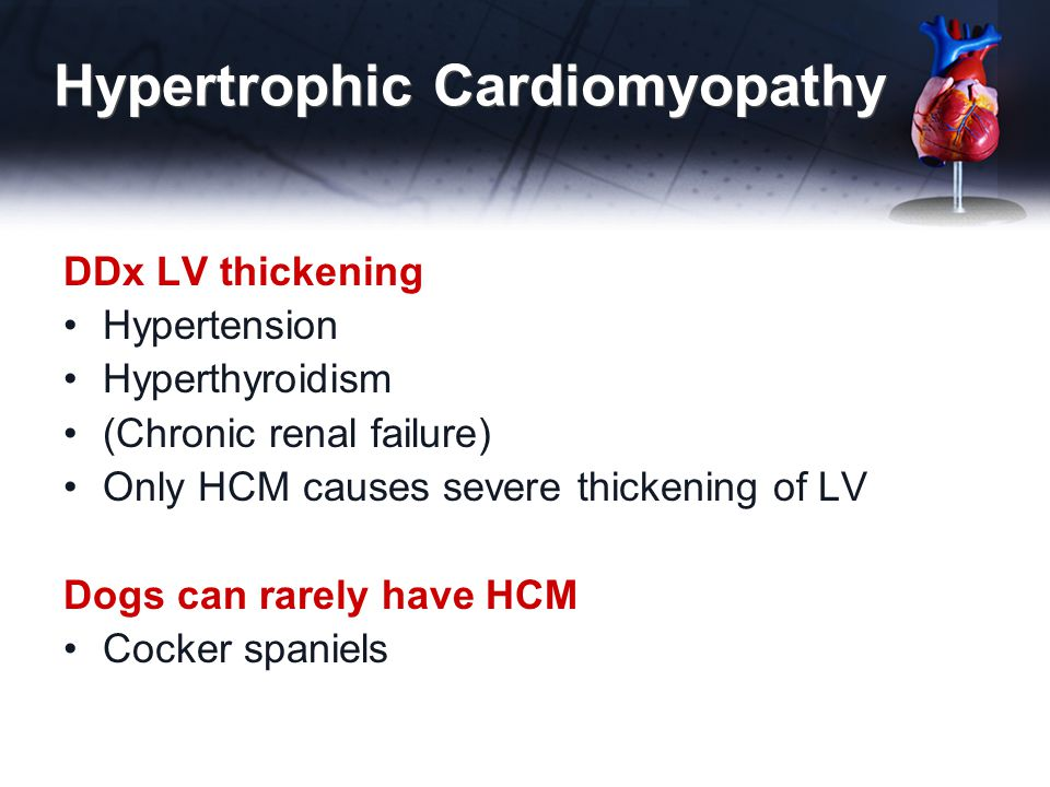 Hypertrophic Cardiomyopathy DDx LV thickening Hypertension Hyperthyroidism (Chronic renal failure) Only HCM causes severe thickening of LV Dogs can ra