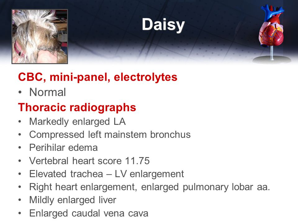 Daisy 2 months later Daisy is breathing hard again at night Exam Same as initial presentation Diagnostic Plan CBC, mini-panel, electrolytes Chest x-rays