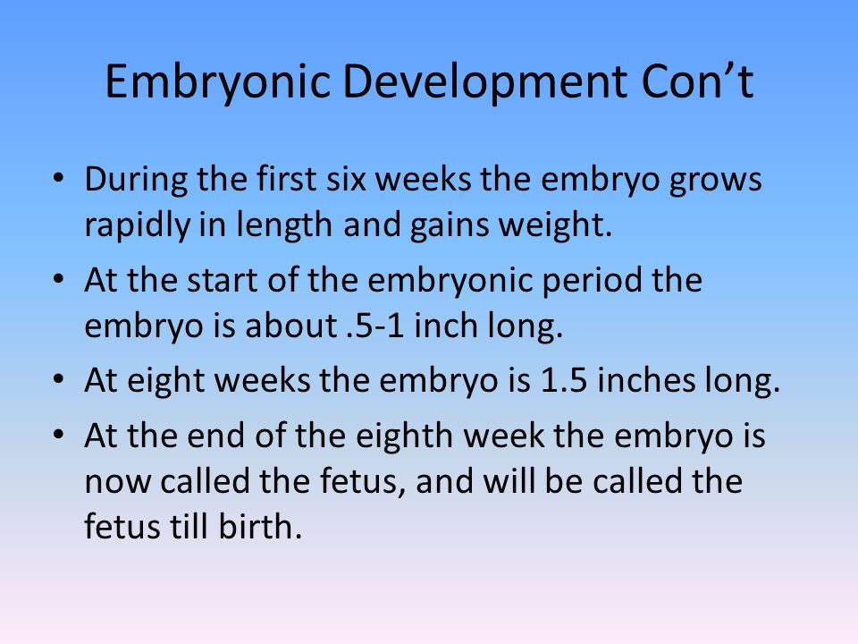Embryonic Development Con't During the first six weeks the embryo grows rapidly in length and gains weight. At the start of the embryonic period the e