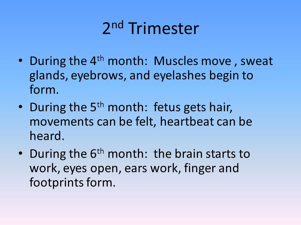 2 nd Trimester During the 4 th month: Muscles move, sweat glands, eyebrows, and eyelashes begin to form.