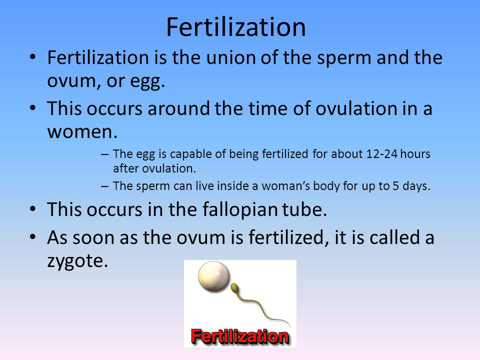 Fertilization Fertilization is the union of the sperm and the ovum, or egg. This occurs around the time of ovulation in a women. – The egg is capable