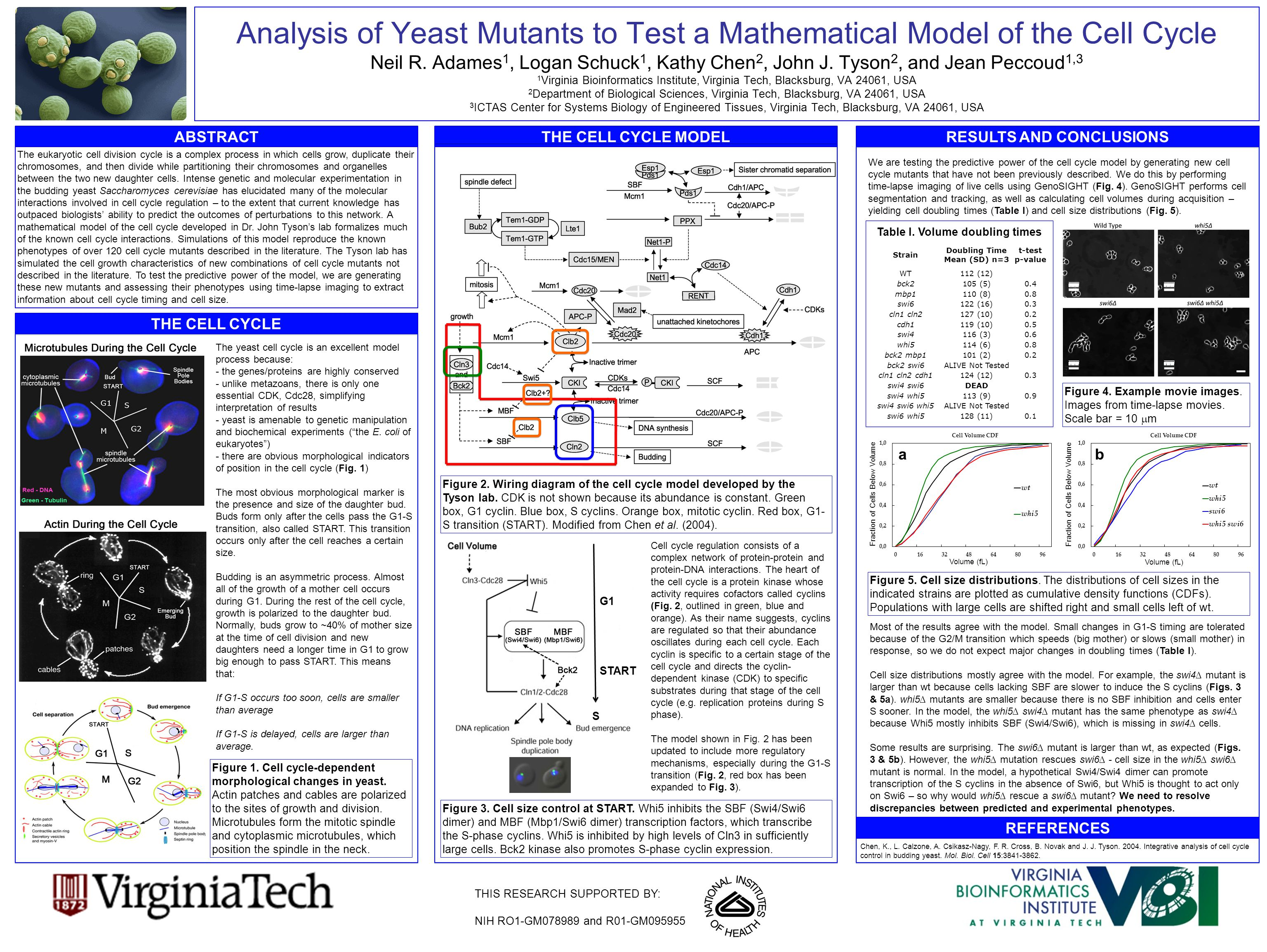 Analysis of Yeast Mutants to Test a Mathematical Model of the Cell Cycle Neil R.