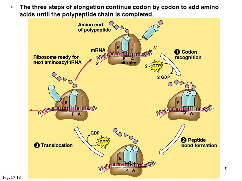 9 The three steps of elongation continue codon by codon to add amino acids until the polypeptide chain is completed.The three steps of elongation continue codon by codon to add amino acids until the polypeptide chain is completed.