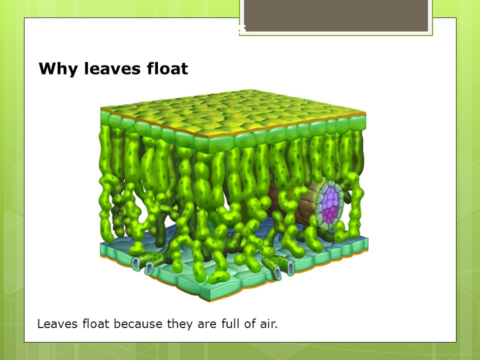 Why leaves float Leaves float because they are full of air. 3.3b Leaves