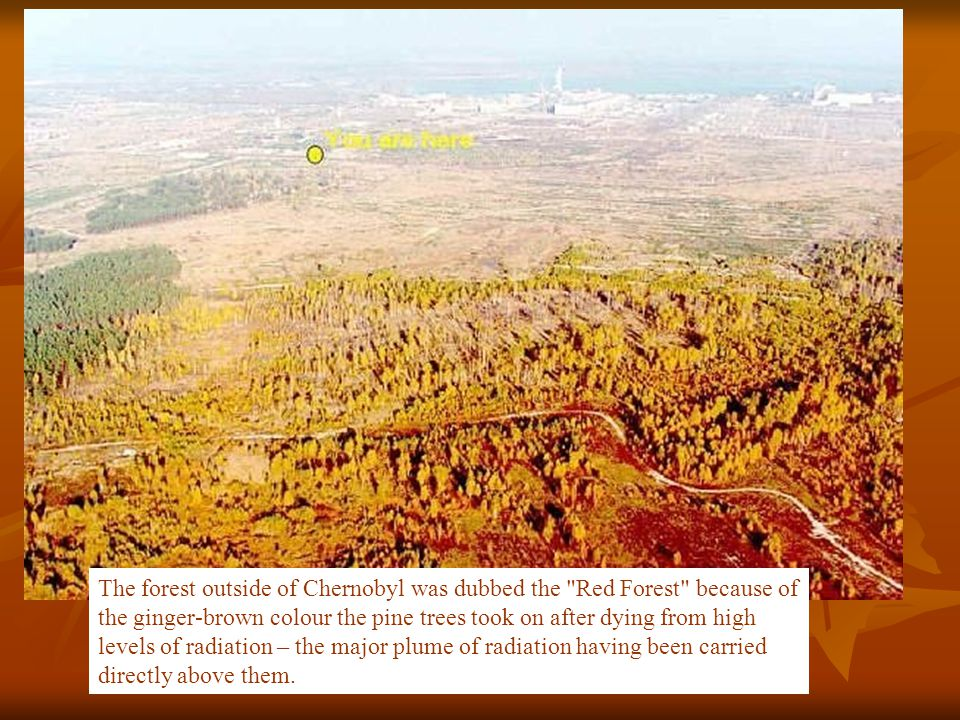 The forest outside of Chernobyl was dubbed the Red Forest because of the ginger-brown colour the pine trees took on after dying from high levels of radiation – the major plume of radiation having been carried directly above them.