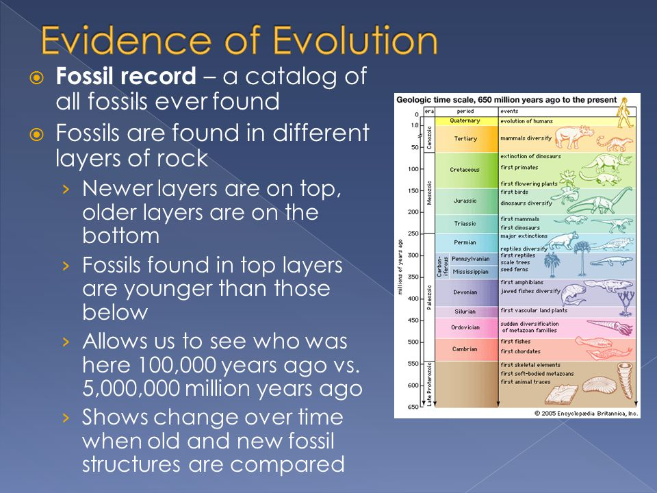  Fossil record – a catalog of all fossils ever found  Fossils are found in different layers of rock › Newer layers are on top, older layers are on the bottom › Fossils found in top layers are younger than those below › Allows us to see who was here 100,000 years ago vs.