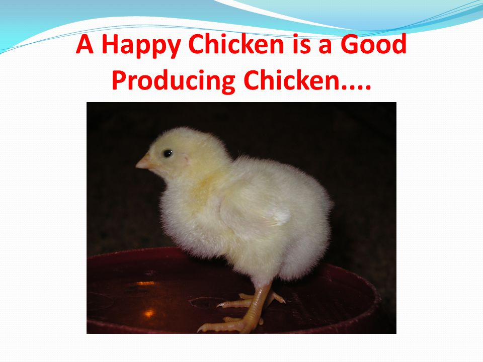 A Happy Chicken is a Good Producing Chicken....