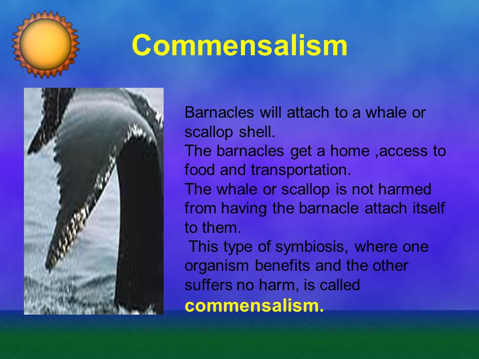 Commensalism Barnacles will attach to a whale or scallop shell.