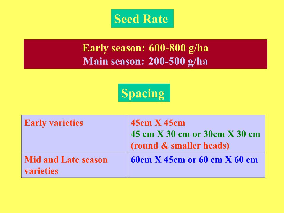 Seed Rate Spacing Early varieties45cm X 45cm 45 cm X 30 cm or 30cm X 30 cm (round & smaller heads) Mid and Late season varieties 60cm X 45cm or 60 cm X 60 cm Early season: 600-800 g/ha Main season: 200-500 g/ha