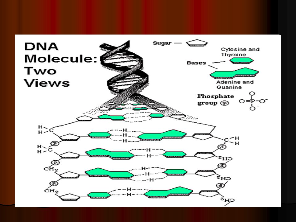 Several ribosome can align on one mRNA strand and forms several polypeptide chains each with 20 or more amino acids.
