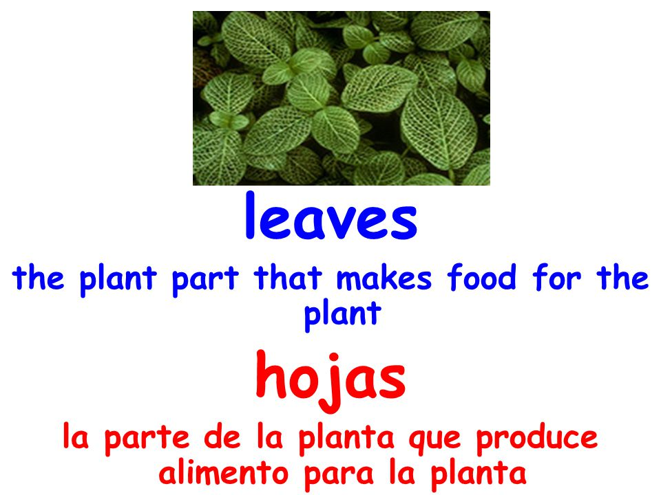 leaves the plant part that makes food for the plant hojas la parte de la planta que produce alimento para la planta