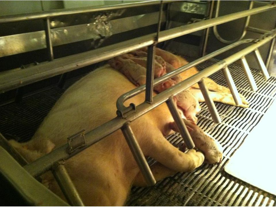 Swine Deltacoronavirus Clinically looks like TGE/PED but tests negative – Differential PCR available 1 st seen in Hong Kong in 2012 Identified in Ohio in February Identified in Canada in March
