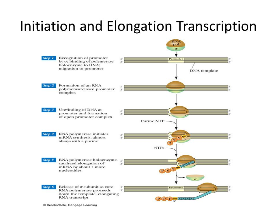 Initiation and Elongation Transcription