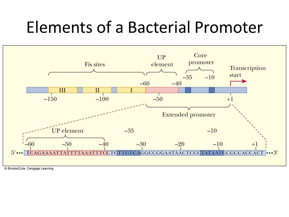 Elements of a Bacterial Promoter