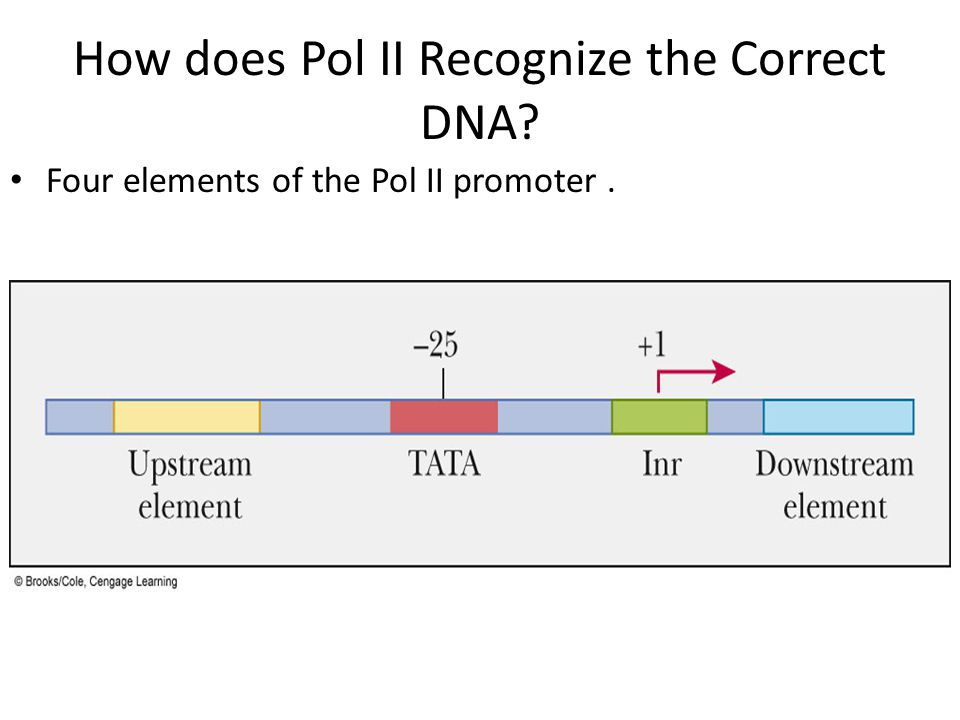 How does Pol II Recognize the Correct DNA? Four elements of the Pol II promoter.