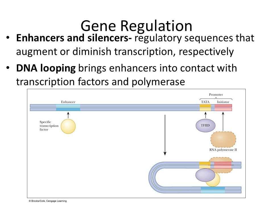 Gene Regulation Enhancers and silencers- regulatory sequences that augment or diminish transcription, respectively DNA looping brings enhancers into c