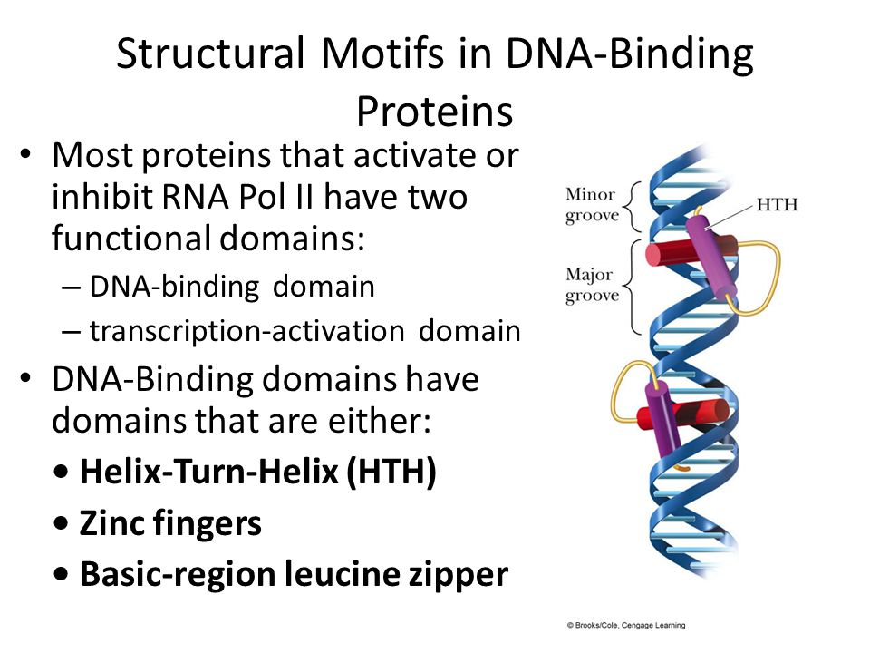 Structural Motifs in DNA-Binding Proteins Most proteins that activate or inhibit RNA Pol II have two functional domains: – DNA-binding domain – transc