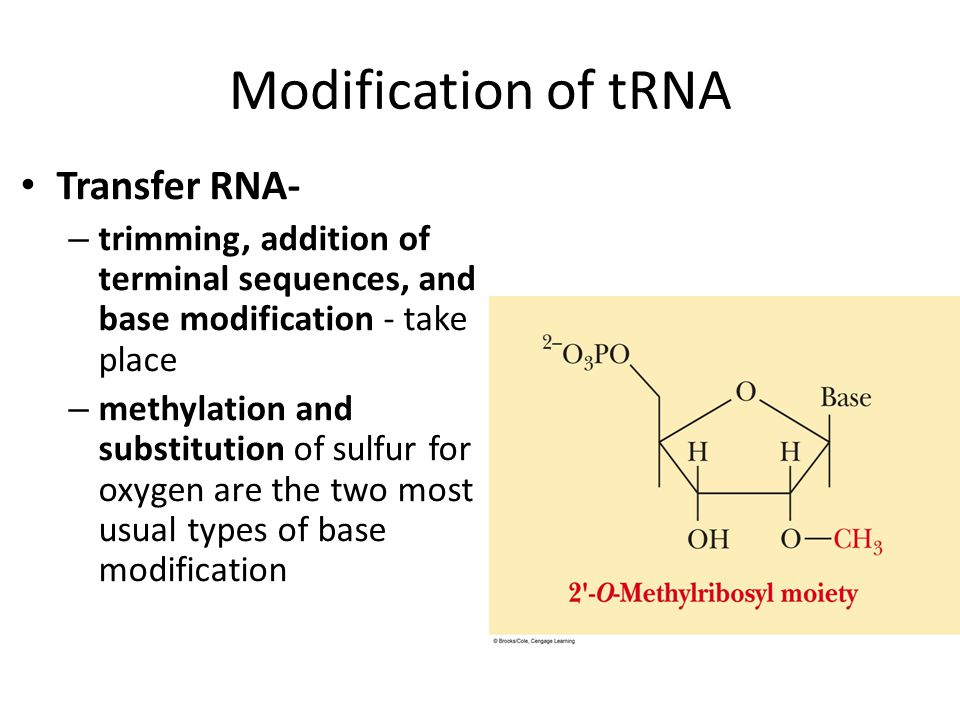 Modification of tRNA Transfer RNA- – trimming, addition of terminal sequences, and base modification - take place – methylation and substitution of su