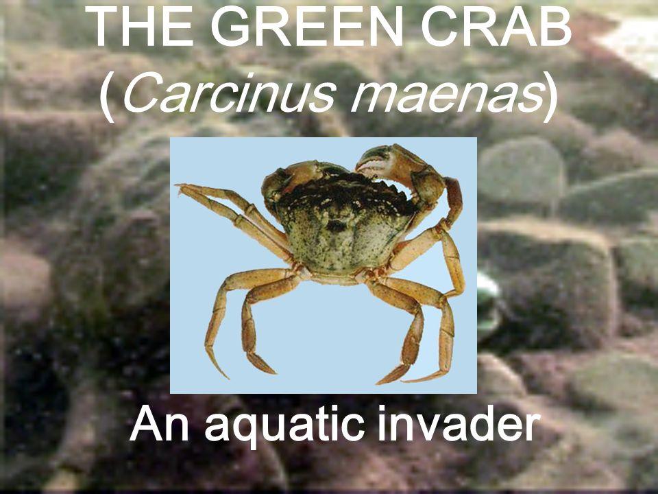 THE GREEN CRAB (Carcinus maenas) An aquatic invader
