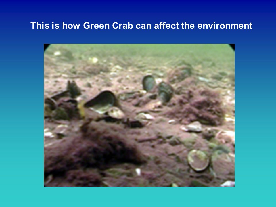 This is how Green Crab can affect the environment