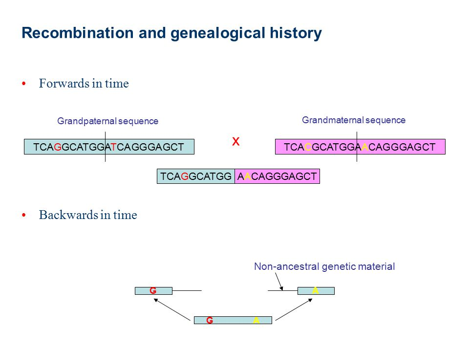 The ancestral recombination graph The combined history of recombination, mutation and coalescence is described by the ancestral recombination graph Mutation Event Recombination Coalescence