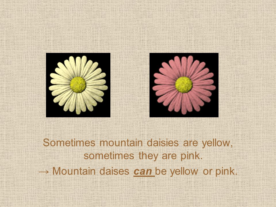 Sometimes mountain daisies are yellow, sometimes they are pink. → Mountain daises can be yellow or pink.