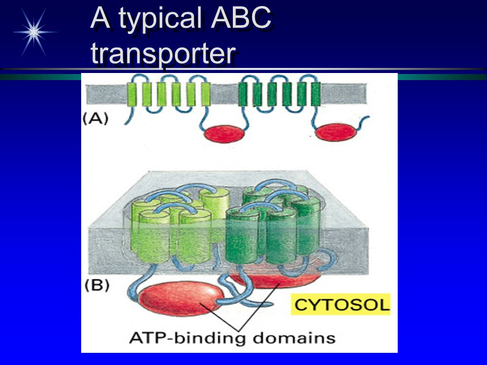 A typical ABC transporter