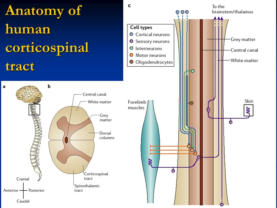 Anatomy of human corticospinal tract
