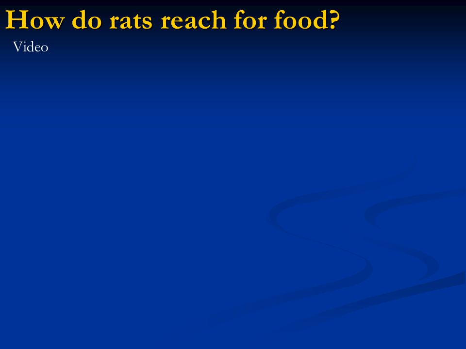 How do rats reach for food Video