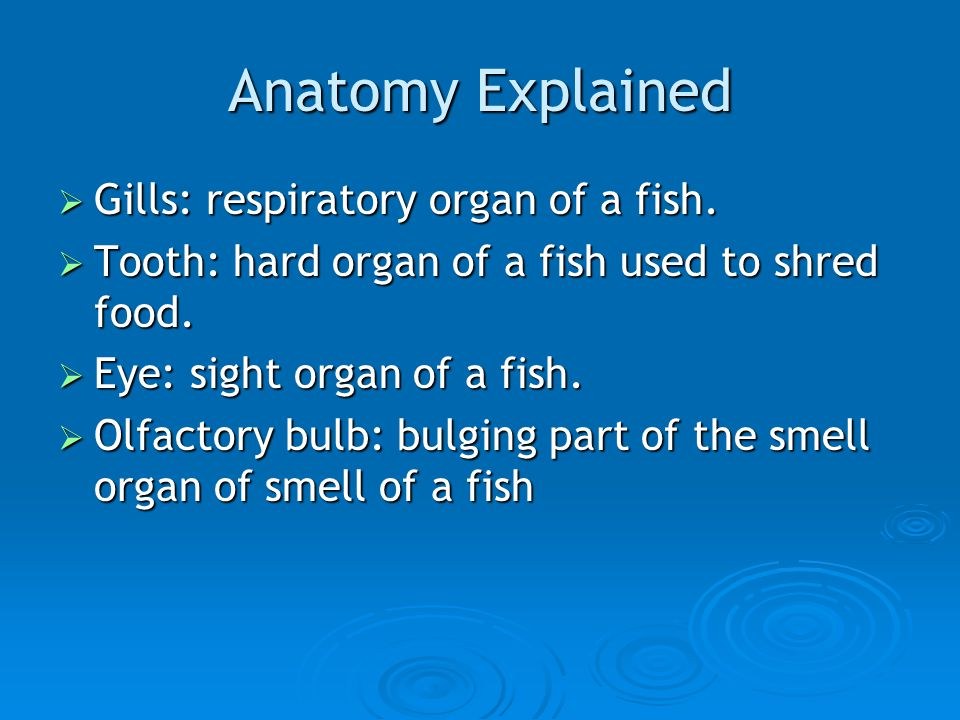 Anatomy Explained  Gills: respiratory organ of a fish.