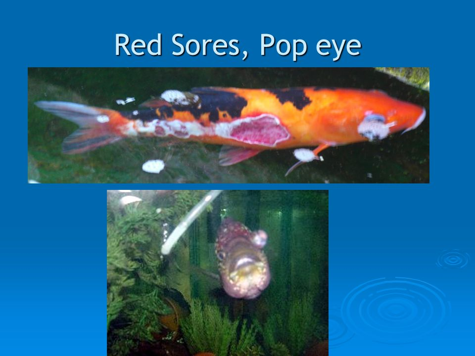 Red Sores, Pop eye