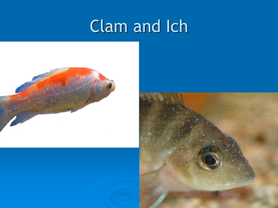 Clam and Ich