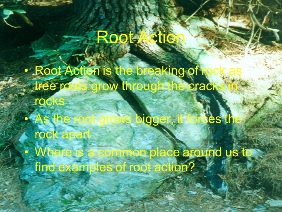 Root Action Root Action is the breaking of rock as tree roots grow through the cracks in rocks As the root grows bigger, it forces the rock apart Where is a common place around us to find examples of root action?