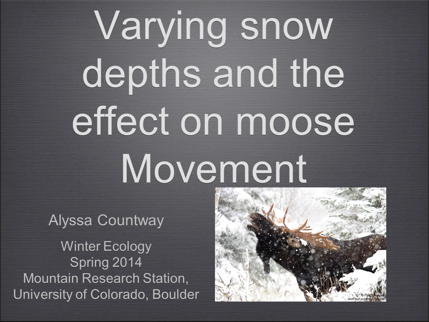 Varying snow depths and the effect on moose Movement Alyssa Countway Winter Ecology Spring 2014 Mountain Research Station, University of Colorado, Boulder Alyssa Countway Winter Ecology Spring 2014 Mountain Research Station, University of Colorado, Boulder