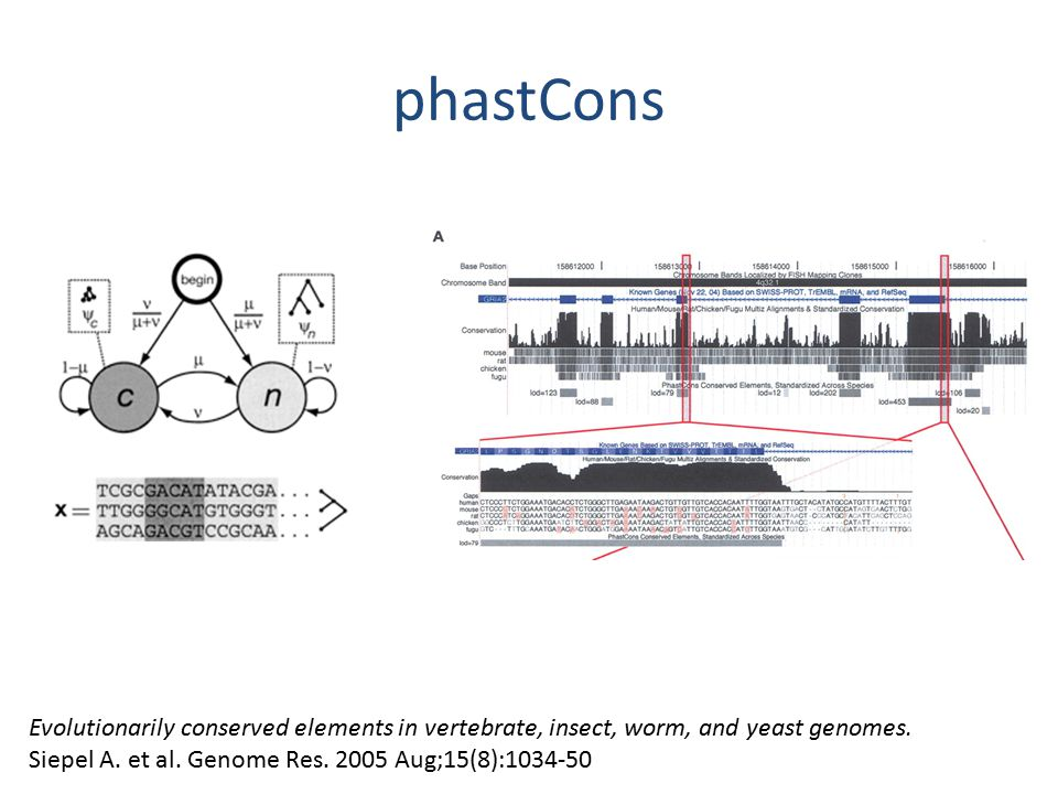 phastCons Evolutionarily conserved elements in vertebrate, insect, worm, and yeast genomes.