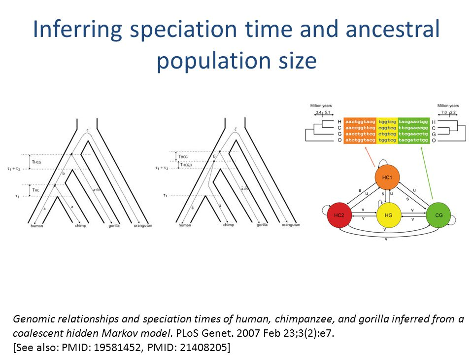 Inferring speciation time and ancestral population size Genomic relationships and speciation times of human, chimpanzee, and gorilla inferred from a coalescent hidden Markov model.