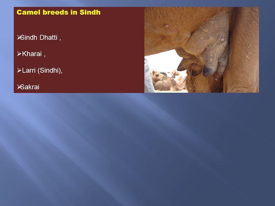 Camel breeds in Sindh  Sindh Dhatti,  Kharai,  Larri (Sindhi),  Sakrai