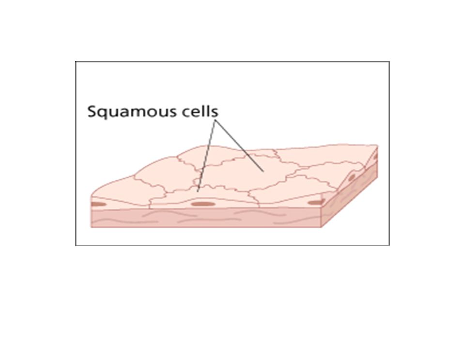 The columnar epithelial cells are taller than they are wide and line the cheek.