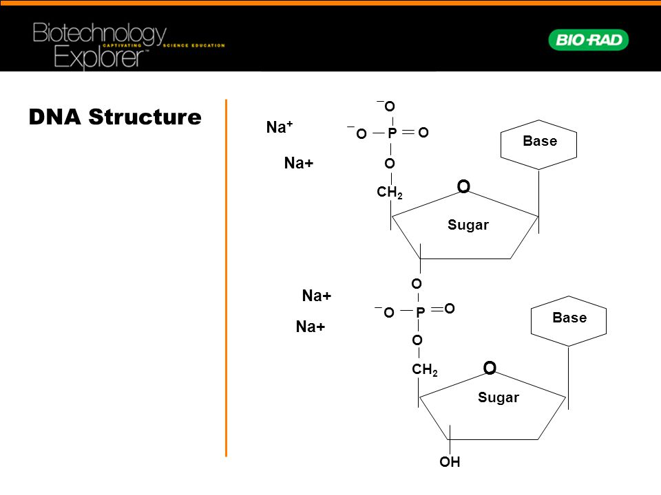 Na + O CH 2 O P O O O Base CH 2 O P O O O Base OH Sugar O DNA Structure