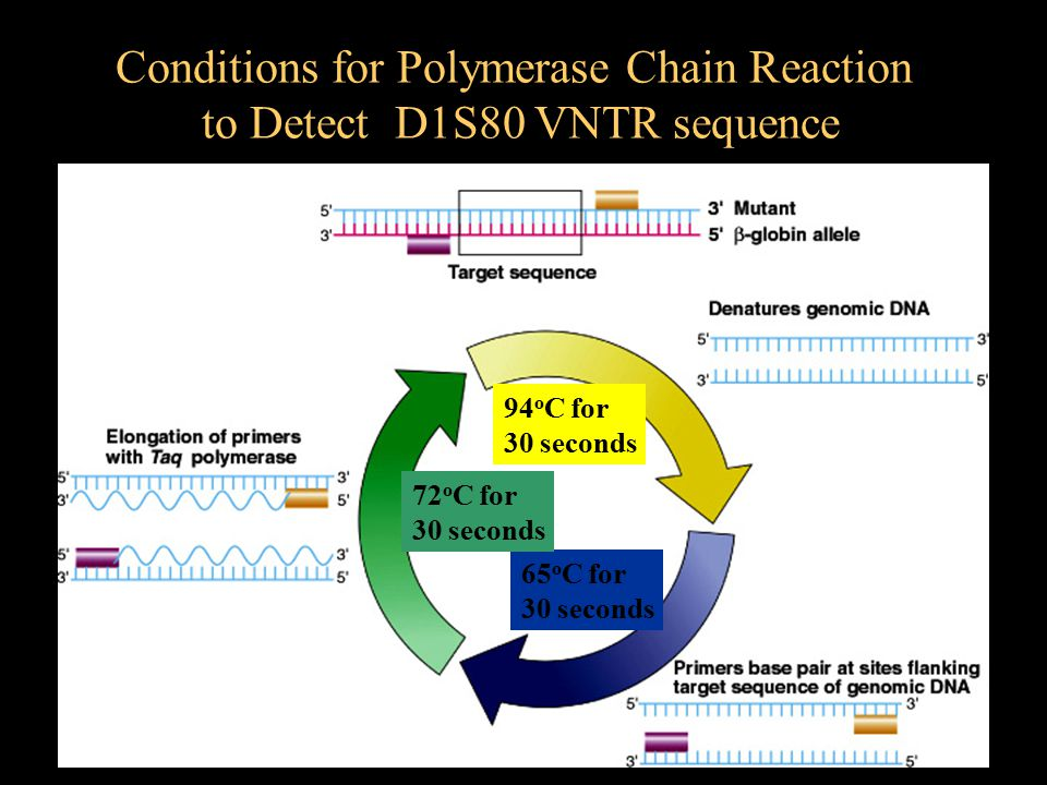 94 o C for 30 seconds 65 o C for 30 seconds 72 o C for 30 seconds Conditions for Polymerase Chain Reaction to Detect D1S80 VNTR sequence