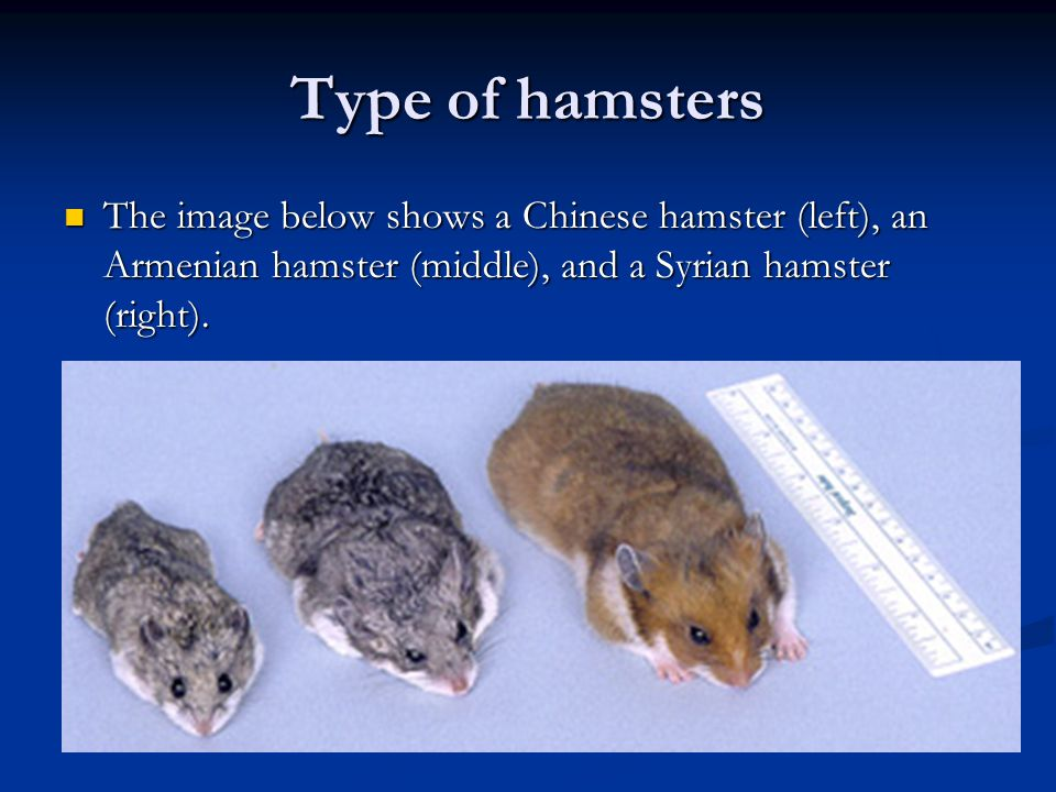 Type of hamsters The image below shows a Chinese hamster (left), an Armenian hamster (middle), and a Syrian hamster (right). The image below shows a C