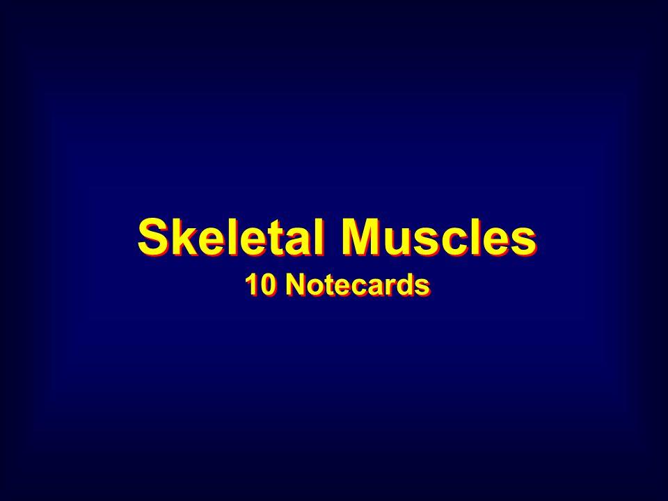 Skeletal Muscles 10 Notecards