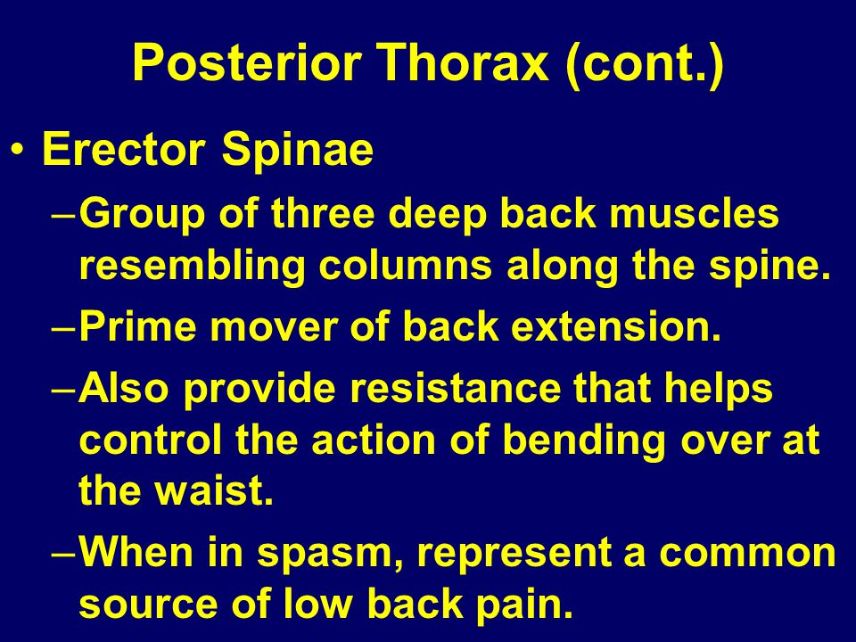 Posterior Thorax (cont.) Erector Spinae –Group of three deep back muscles resembling columns along the spine. –Prime mover of back extension. –Also pr